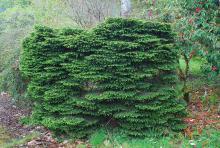plant habit, 50+ years old