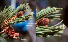 leaves (needles) and cones
