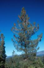 plant habit, mature tree