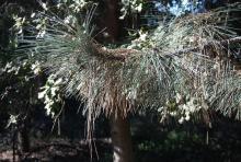 branch, needles
