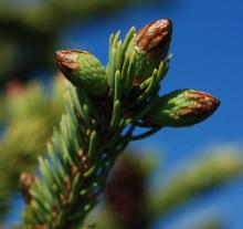 bud expansion, late spring