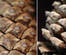 cone scales, closed and open