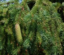 immature cone and branchlets