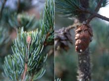 branch and cone