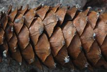 cone scales