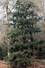 plant habit, small tree