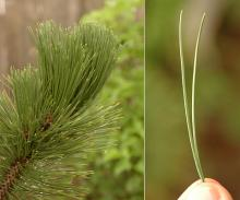 branch tip and needles