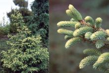 plant habit and branchlets, needles