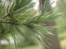 branch tip, needles