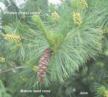 pollen and seed cones, June