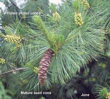pollen and seed cone, June