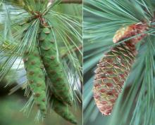 immature seed cones