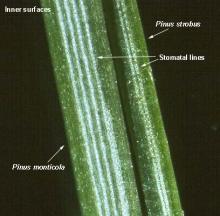 needle, close-up, comparison with P. strobus