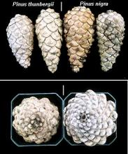 cones, comparison with <i>Pinus thunbergii</i>
