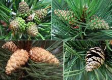 seed cone development
