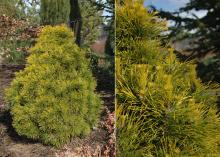 plant habit and needles, early spring