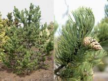 plant habit, needles and cone