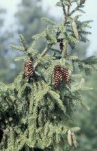 branchlets and cones