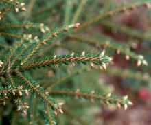 branchlets