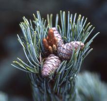 developing cones