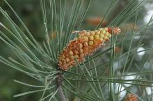 pollen cone and needles