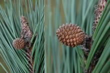 bud and developing cone