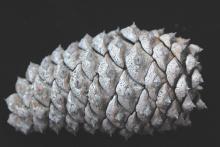 mature cone, closed