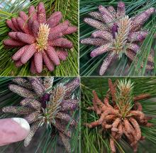 male cones: before, at, and after pollen release