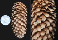 cone and cone scales