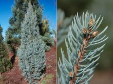 plant habit and branchlet