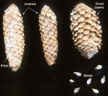 cones and seeds