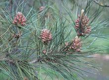 male cones and needles