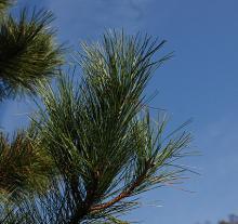 branch tip