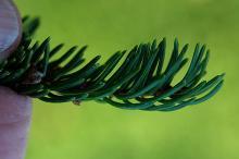 branchlet, needles
