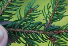 underside of branchlets, needles