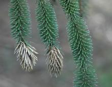 shoots with adelgid damage