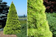 plant habit, sheared, summer