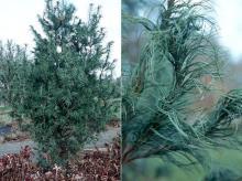plant habit and needeles