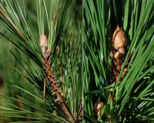 buds, needles, fall