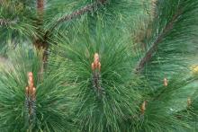 branches, needles