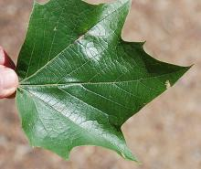 leaf, upper surface
