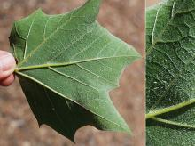 leaf, lower surface