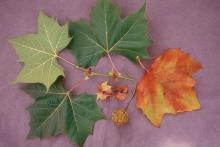 leaves, stipules and fruit, early fall
