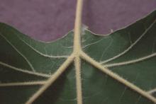 leaf underside, veins