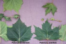 leaves and stipules, comparison