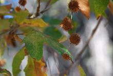 leaves and fruit clusters, fall