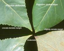 leaf margins, comparison