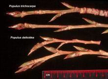 winter twigs and buds, comparison