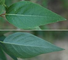leaf, upper and lower surface