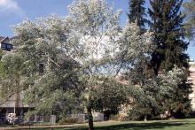 plant habit, showing silver underside